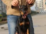 襄樊什么地方有狗场卖宠物狗/襄樊哪里有卖杜宾犬