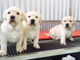 北京出售拉布拉多黄色拉布拉多犬大骨架拉布拉多出售拉布拉多图片