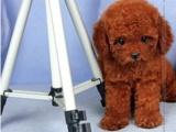 杭州纯种极品玩具泰迪熊幼犬公母幼犬都有可签协议欢迎上门