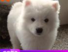 哪里有银狐犬出售多少钱,银狐犬的照片