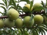 蜂糖李子苗种植技术,宜宾哪里有蜂糖李果树苗,出售蜂糖李嫁接苗