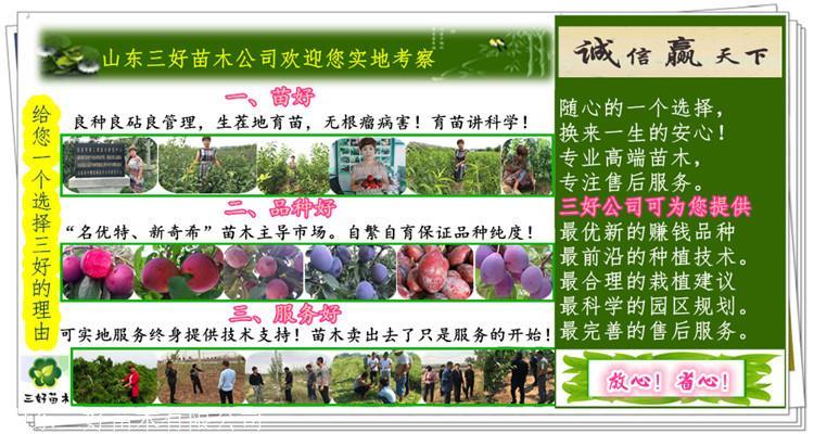 恐龙蛋李子苗栽培技术李子苗种植当年管理