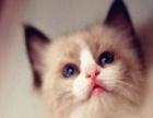 出售家养布偶幼猫一窝 公母都有可上门挑选 非诚勿扰