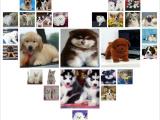 四川遂宁出售纯种哈士奇宠物狗狗幼犬