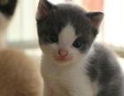 【米粒家的猫】 英短 美短 加菲 折耳 布偶 豹猫