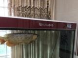 出售过背金龙鱼一条,鱼缸一只