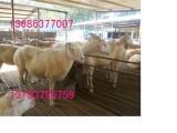 供应现在小尾寒羊母羊多少钱一只 育肥小尾寒羊价格