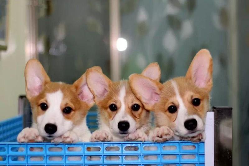 出售高品质柯基幼犬,品相完美疫苗齐全价格好商量