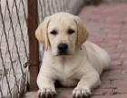 重庆哪家店信誉好 重庆哪里出售拉布拉多犬