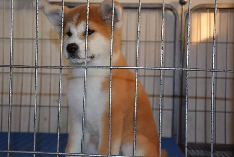 苏州秋田犬一本地养殖狗场一直销各种世界名犬 常年售卖