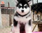 高品質阿拉斯加幼犬出售阿拉斯加幼犬免費領養阿拉斯加幼犬