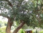 500年历史的老荔枝树