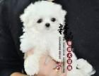 马尔济斯犬多少钱一只 天津哪里有卖的