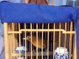画眉鸟打斗鸟玩赏鸟