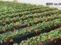 徐郢草莓一起来体会和家人孩子采摘草莓的乐趣