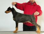 中国专业繁殖双血统杜宾犬犬舍 可以上门挑选