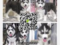 广东较大哈士奇养狗场 宠物协会 指定一家信誉较佳狗场