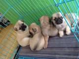 重庆出售 巴哥犬,疫苗驱虫已做视频