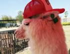 上海普陀区神兽出租-羊驼租赁-草泥马出租-活动庆典暖场展示
