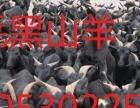 长毛黑山羊短毛黑山羊常年销售屠宰肉羊