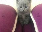 太原萌猫生活馆、英短美短五窝二十多只小猫出窝找新家