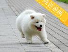萨摩耶犬专业繁殖 可基地挑选 签协议包健康 送用品