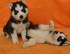 出售纯种哈士奇幼犬,血统纯正,保健康,养殖场繁殖
