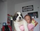 出售精品巨型圣伯纳幼犬
