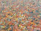 大量出售观赏鱼锦鲤桂林市