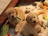 繁育品质保障 金毛犬 健康第一可信赖可签协议