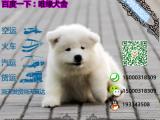 哪一家宠物店卖纯种健康的萨摩耶多少钱一只