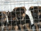 最佳伴侣犬黑背 专业繁殖 品质保证 实物拍摄
