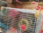 荷兰进口垂耳兔灰色母带笼子和所有用品转让