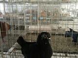 常年出售各种观赏鸽,品种多,价格低
