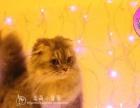 曼奇金短腿猫11个月成母转