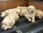 株洲哪有拉布拉多犬卖 株洲拉布拉多犬价格 拉布拉多犬多少钱