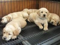 广州官方认证宠物领养中心 拉布拉多犬赠送