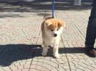 可爱活泼秋田犬在这里优惠纯种和健康可签协议