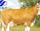 肉牛养殖场批发价出售肉牛犊价格透明免费运输货到付款