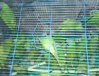 小绯胸鹦鹉成年的