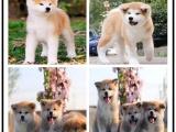 哪里有普京同款秋田犬出售全国包邮送大礼包