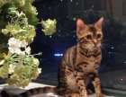 自家猫舍繁育豹猫 包纯种 包健康