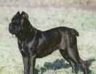 纯种卡斯罗幼犬出售一千八包健康纯种