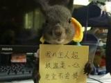 批发零售魔王松鼠,幼鼠降价啦