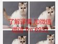 虎斑暹罗猫找粑粑麻麻,价格内写