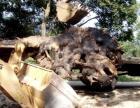 千年香樟树根