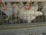 海兰灰青年鸡出厂价 河南海兰灰青年鸡报价