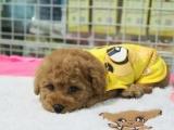 泰迪幼犬,泰迪多少钱一只