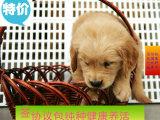出售纯种幼犬金毛寻回导盲猎犬 多只挑选 健康品