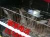肉兔种兔出售杂交野兔